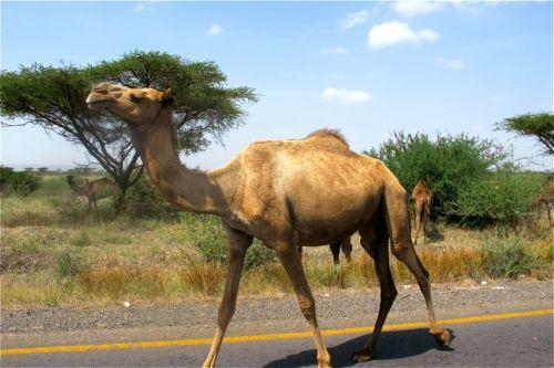 roaside camels