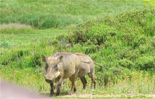 2 warthogs