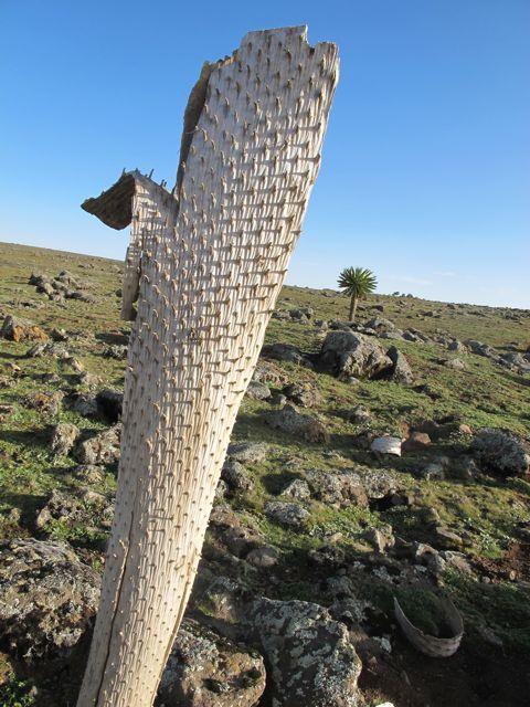 dead lobelia trunk