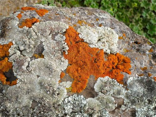 lichen on rock close up