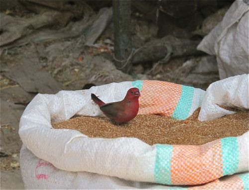 bird on grain sack
