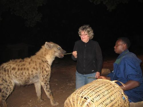 feeding hyena with stick