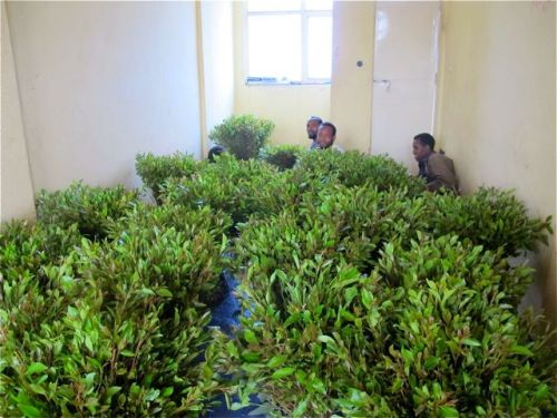 men in room sorting khat